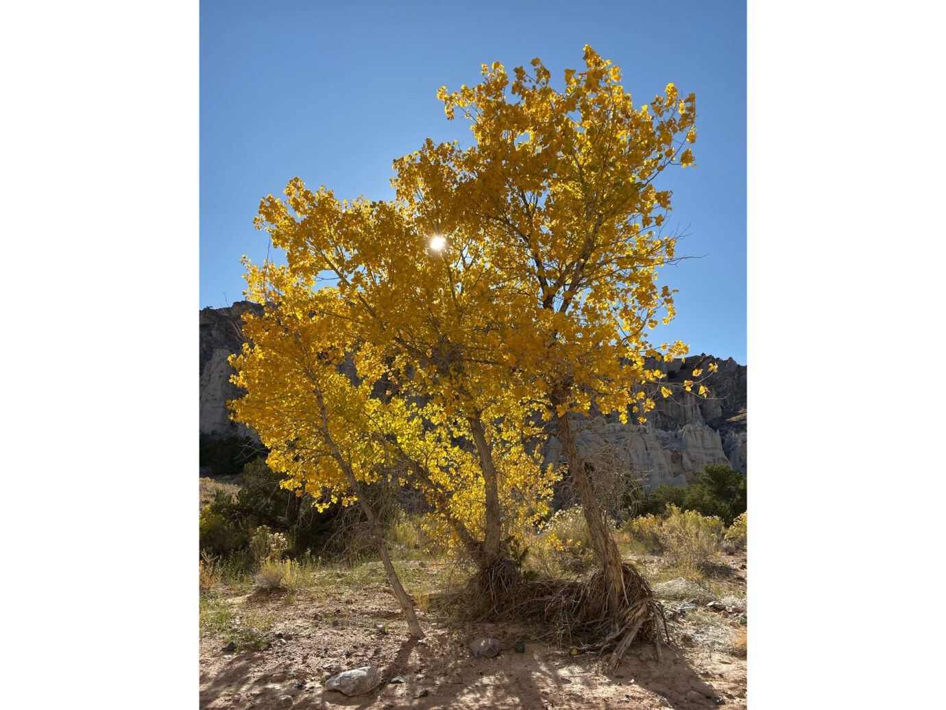 Yellow tree, Autumn in New Mexico