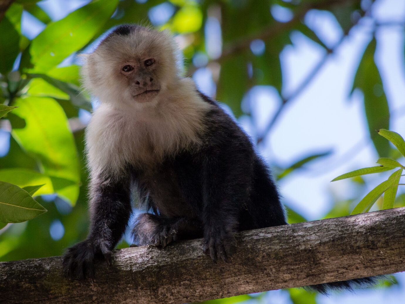Caputin monkey spotted at Palo Verde national park in Costa Rica