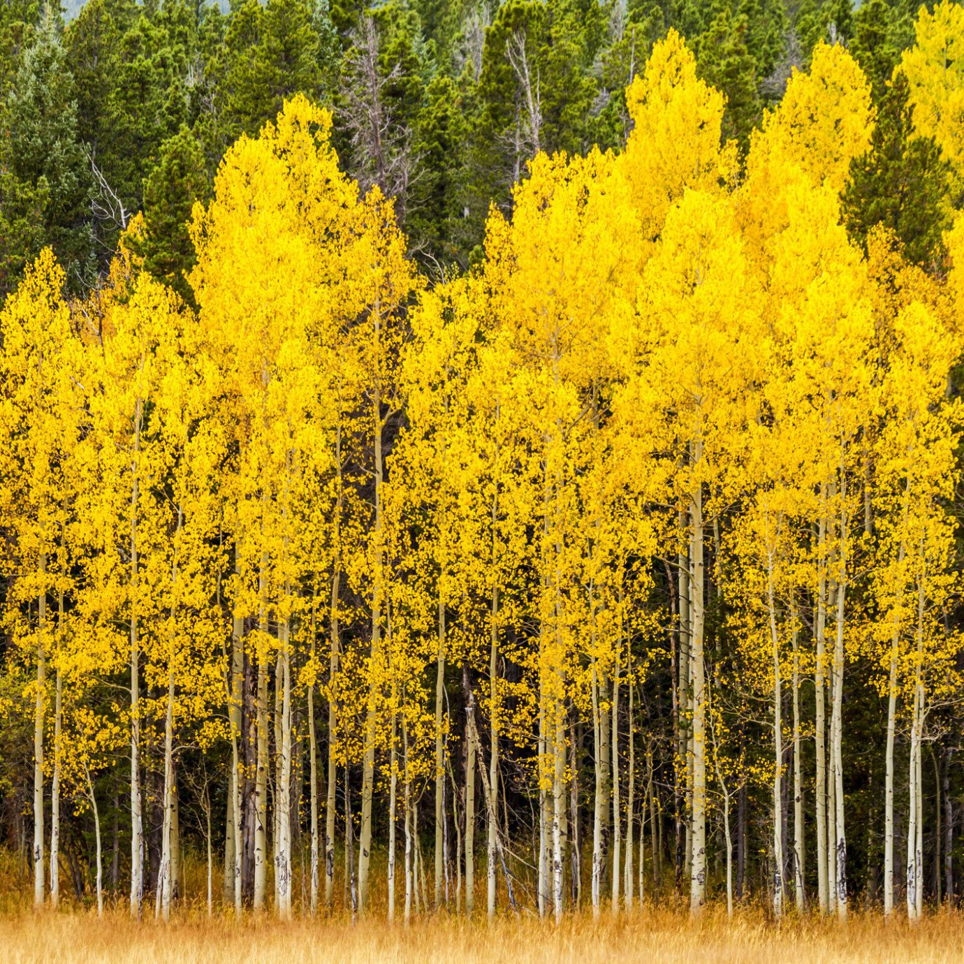 Outdoors + Adventure Road Trips Trip Ideas tree outdoor poplar plant Nature yellow ecosystem leaf temperate broadleaf and mixed forest grove autumn biome birch larch landscape Forest surrounded