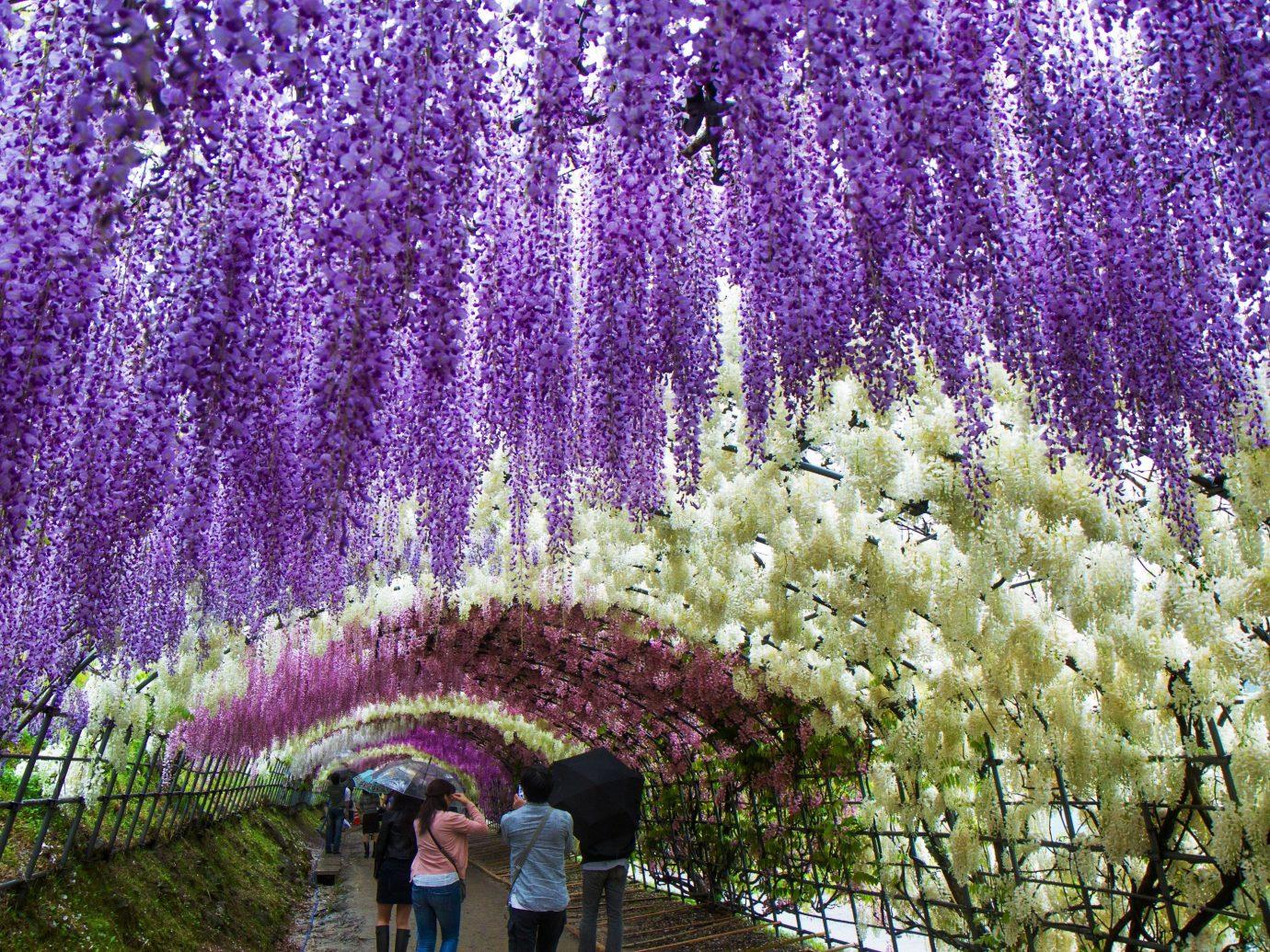 Trip Ideas tree plant flower lavender flora english lavender botany land plant flowering plant blossom shrub herb