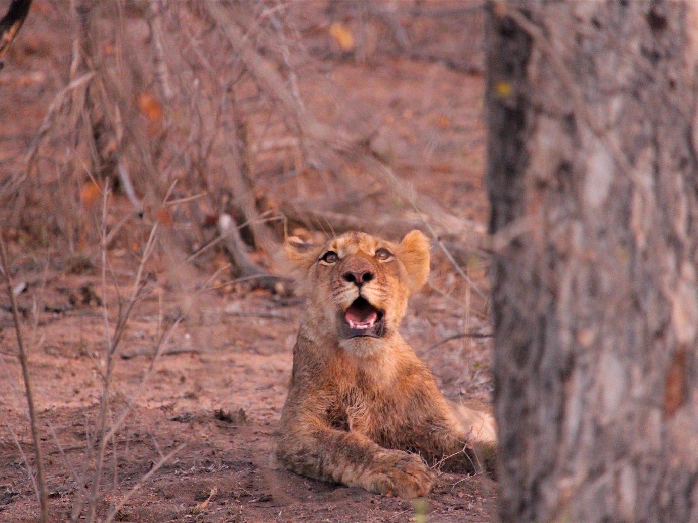 Outdoors + Adventure Safaris Trip Ideas animal outdoor mammal vertebrate Wildlife fauna brown Lion wood Safari area distance wooded