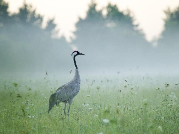 Offbeat grass Bird outdoor standing field vertebrate crane like bird animal fauna crane grassy Wildlife prairie aquatic bird lush gruidae
