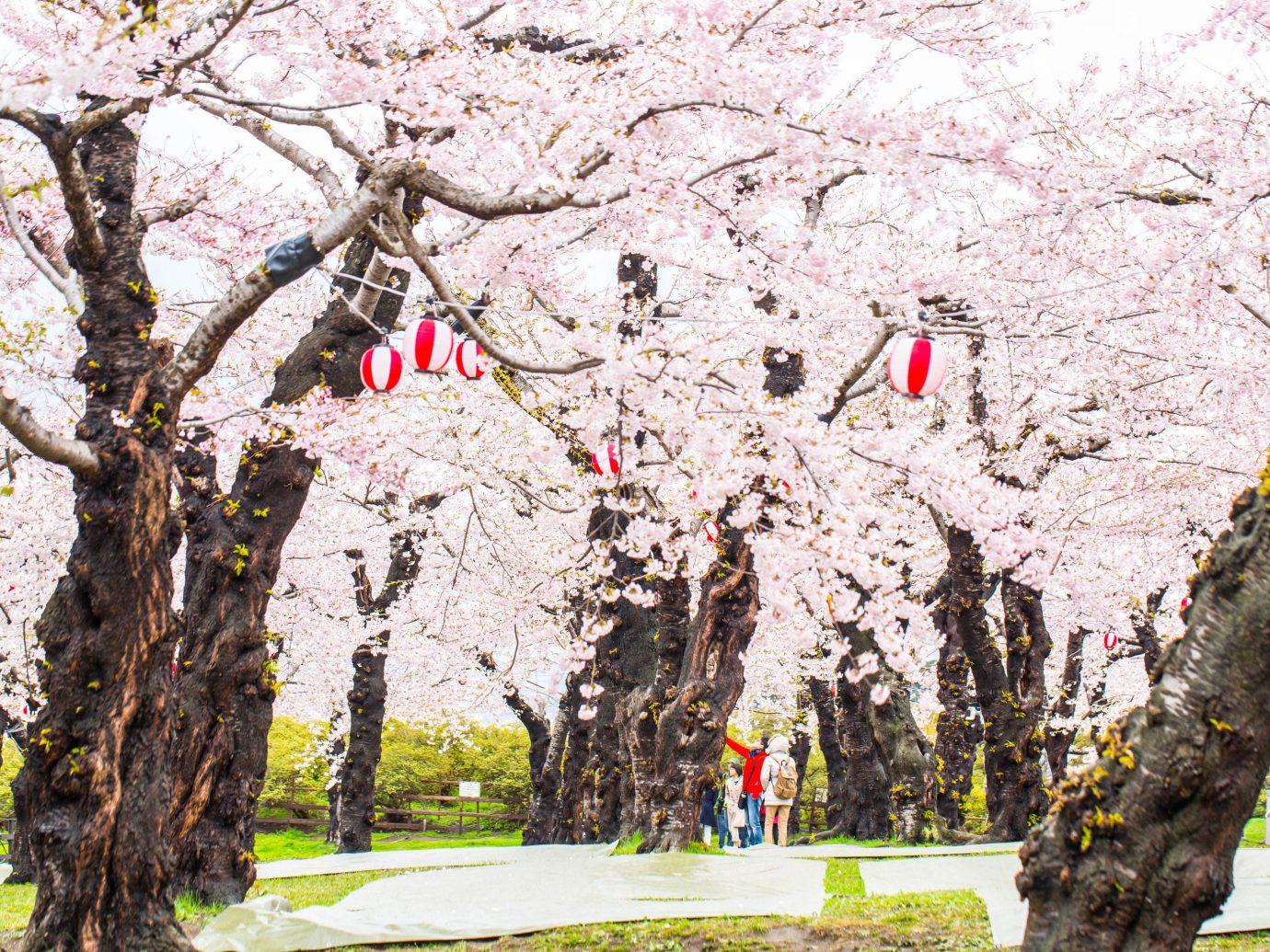 Japan Trip Ideas flower plant tree blossom cherry blossom spring branch