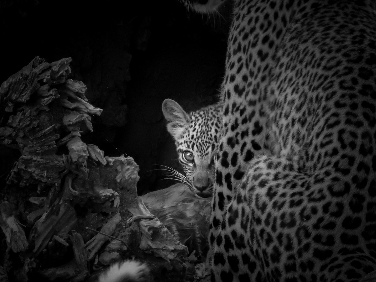Trip Ideas big cat animal mammal leopard black and white vertebrate fauna cat like mammal big cats monochrome Wildlife monochrome photography
