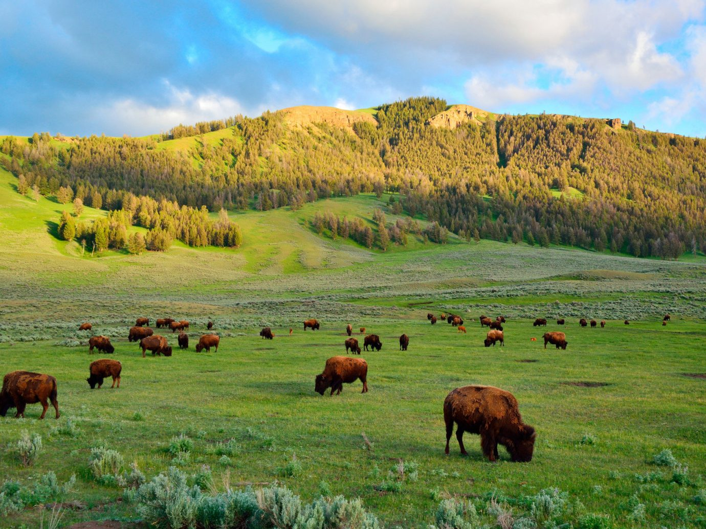 Family Travel National Parks Road Trips Travel Tips Trip Ideas grass sky cow outdoor field highland mountain habitat grazing pasture mountainous landforms grassland green geographical feature natural environment wilderness cattle herd meadow ecosystem plain prairie cattle like mammal mammal hill grassy steppe rural area Wildlife landscape plateau bovine bison tundra lush hillside distance