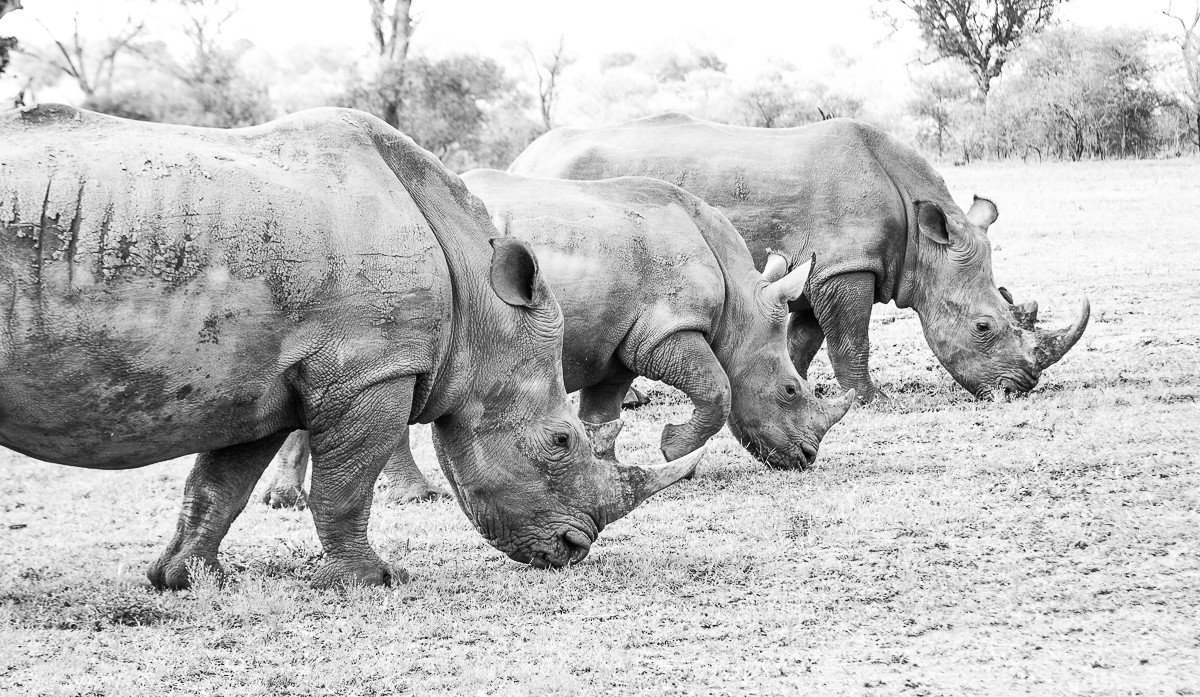 Trip Ideas rhinoceros animal outdoor ground mammal cow field black and white fauna Wildlife monochrome monochrome photography Safari pasture