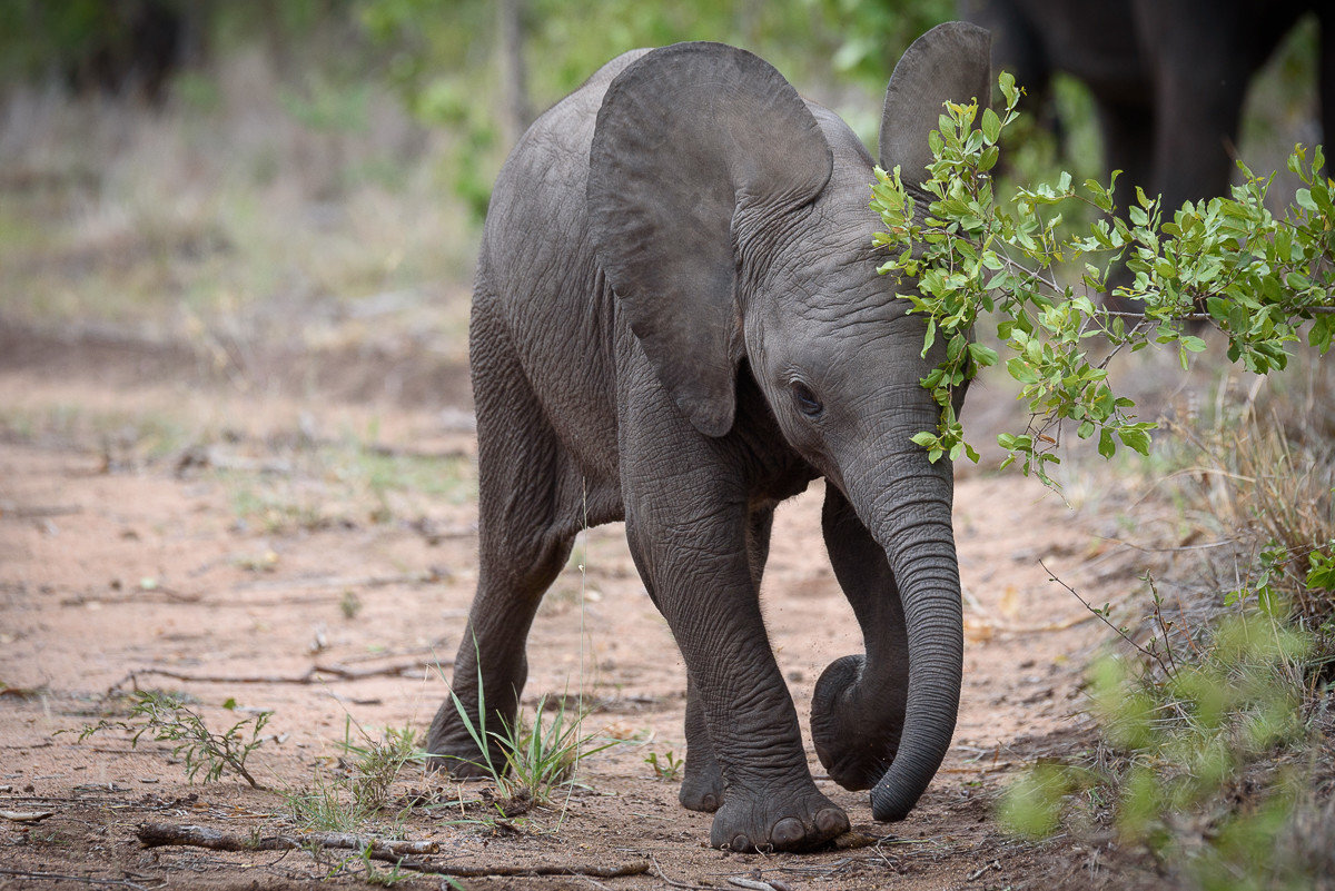 Trip Ideas elephant animal outdoor ground mammal grass tree indian elephant elephants and mammoths Wildlife dirt walking fauna african elephant Safari Adventure zoo baby savanna Jungle area trunk