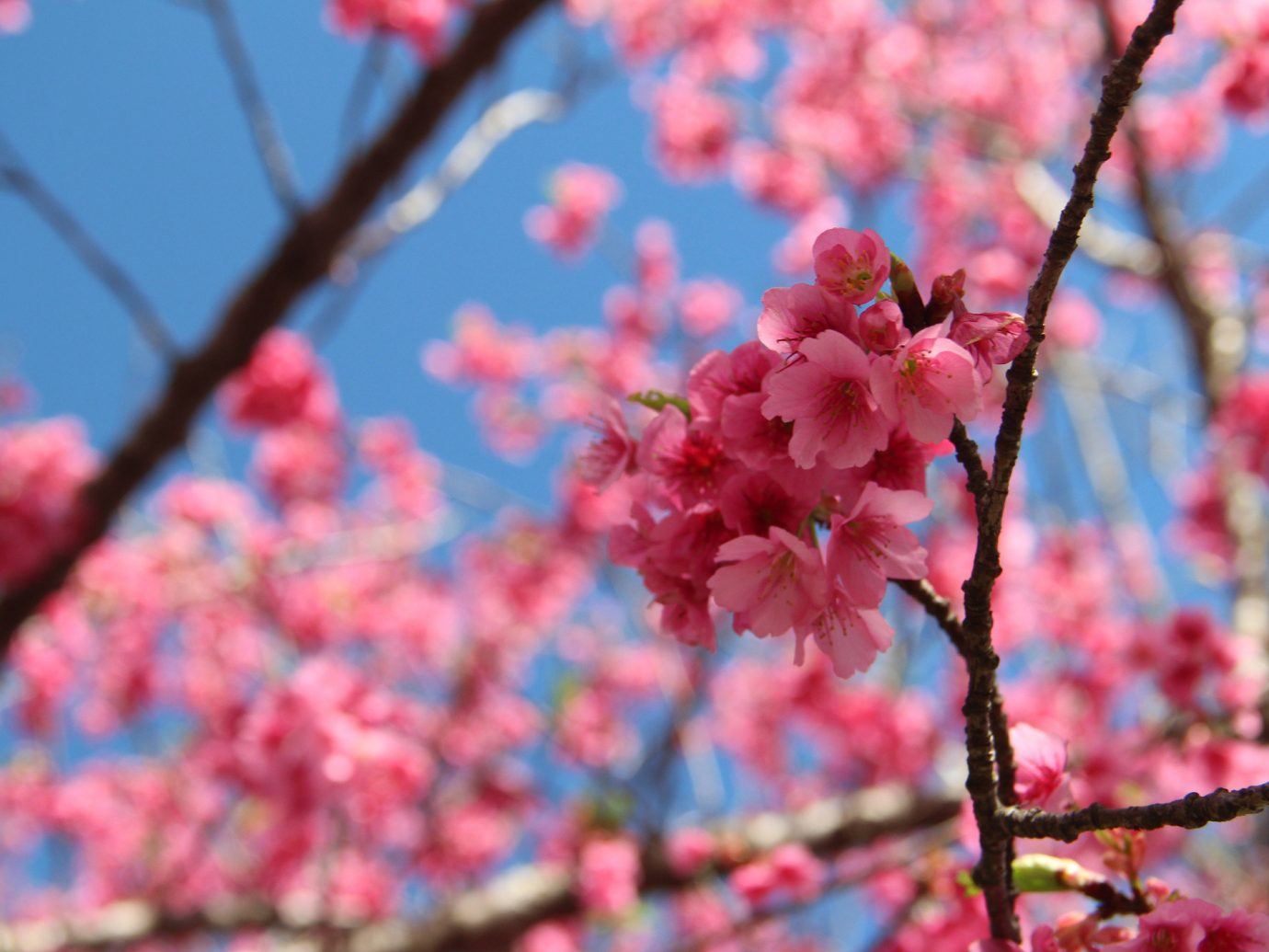 Offbeat outdoor flower blossom plant colorful branch cherry blossom fruit spring season food tree petal produce apple colored branchlet