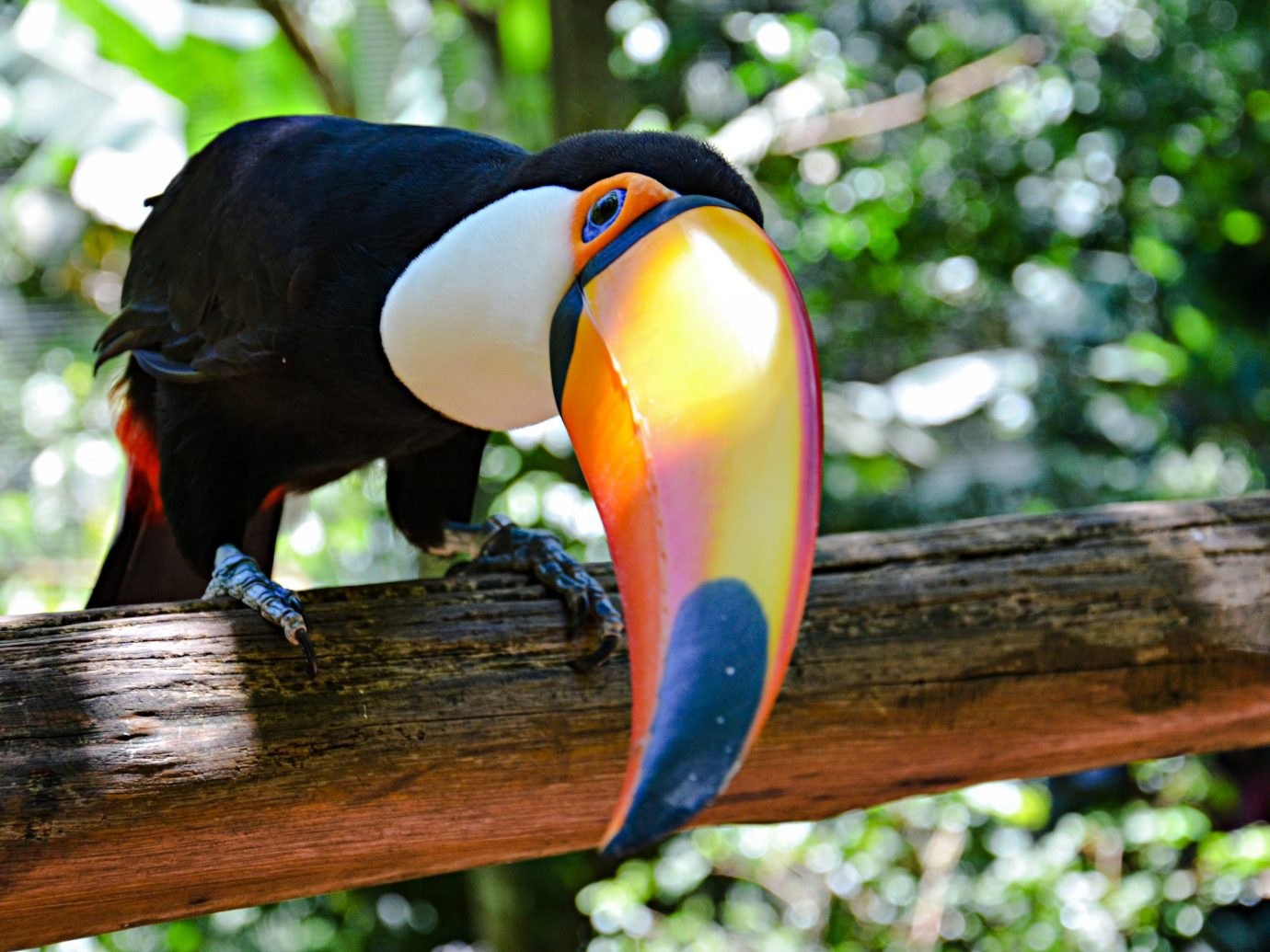 Beaches Brazil Trip Ideas tree outdoor toucan Bird beak fauna wooden animal perched black piciformes Wildlife macaw hornbill branch wood colorful colored
