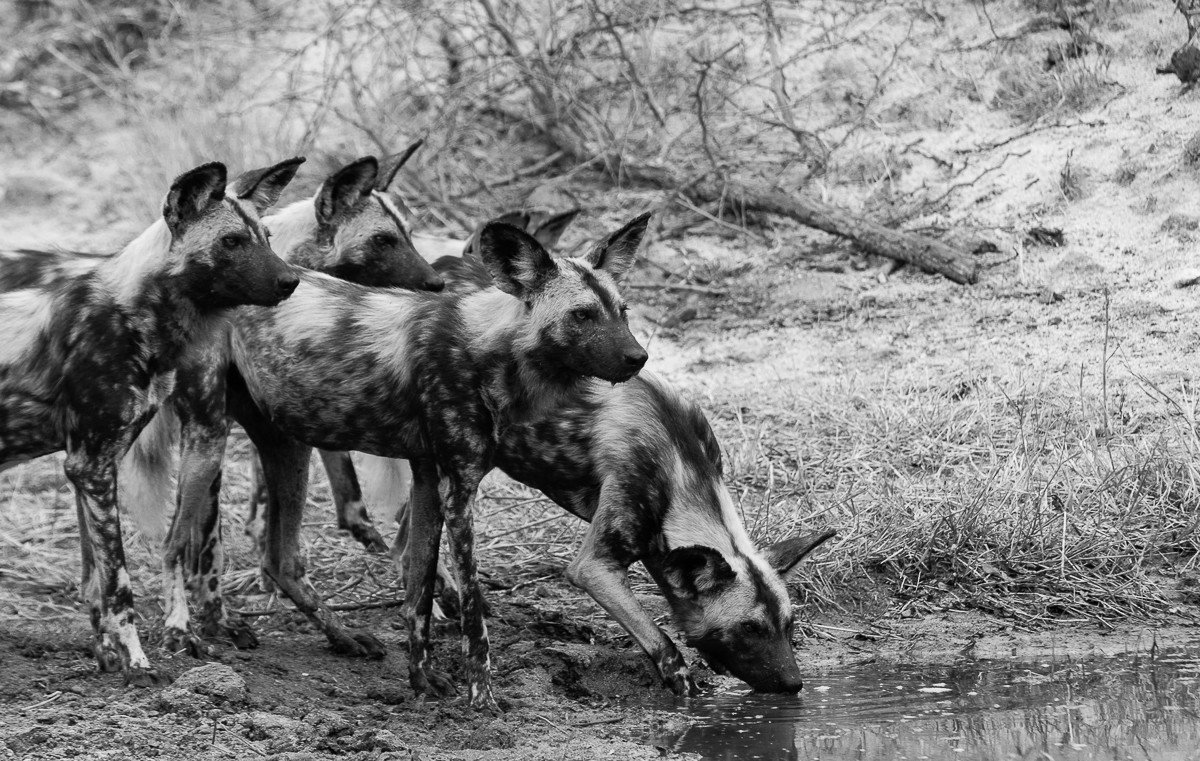 Trip Ideas grass outdoor ground lycaon pictus wild dog black and white mammal fauna Wildlife field monochrome monochrome photography dog like mammal