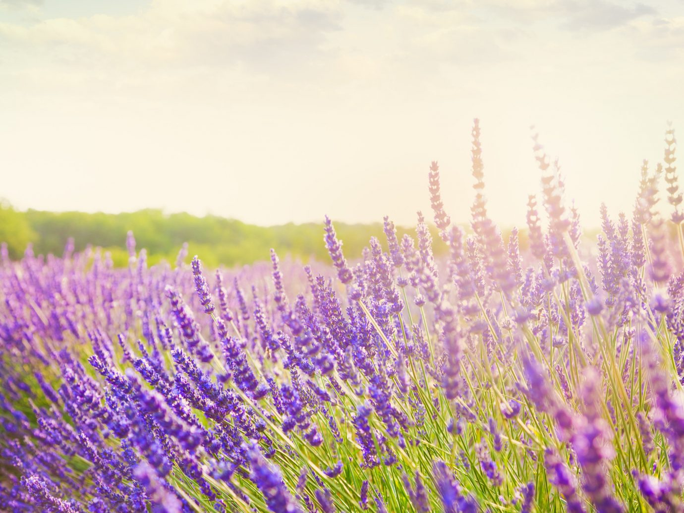 Trip Ideas sky plant flower Nature lavender flora outdoor field grass grassland meadow prairie english lavender land plant grass family wildflower flowering plant macro photography