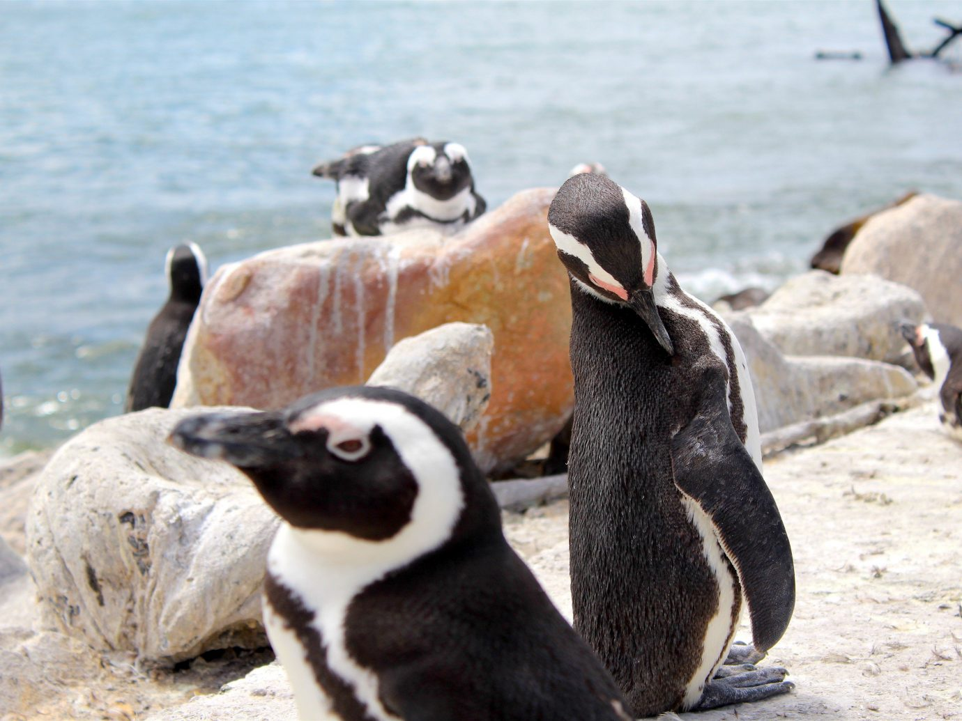 Outdoors + Adventure Safaris Trip Ideas water outdoor animal penguin flightless bird Bird aquatic bird vertebrate fauna Wildlife black zoo
