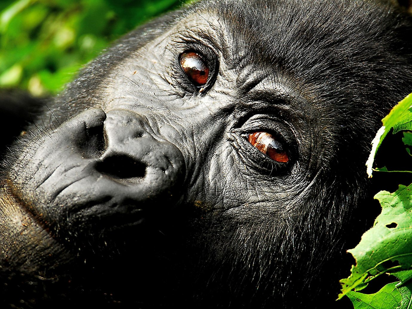 Trip Ideas animal western gorilla great ape mammal vertebrate primate looking chimpanzee ape black fauna Wildlife common chimpanzee green eyes zoo close staring