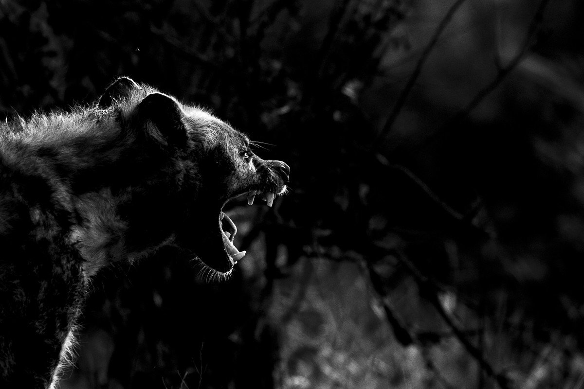 hyena Trip Ideas tree outdoor animal black and white black mammal standing darkness looking photography monochrome photography monochrome screenshot big cat staring