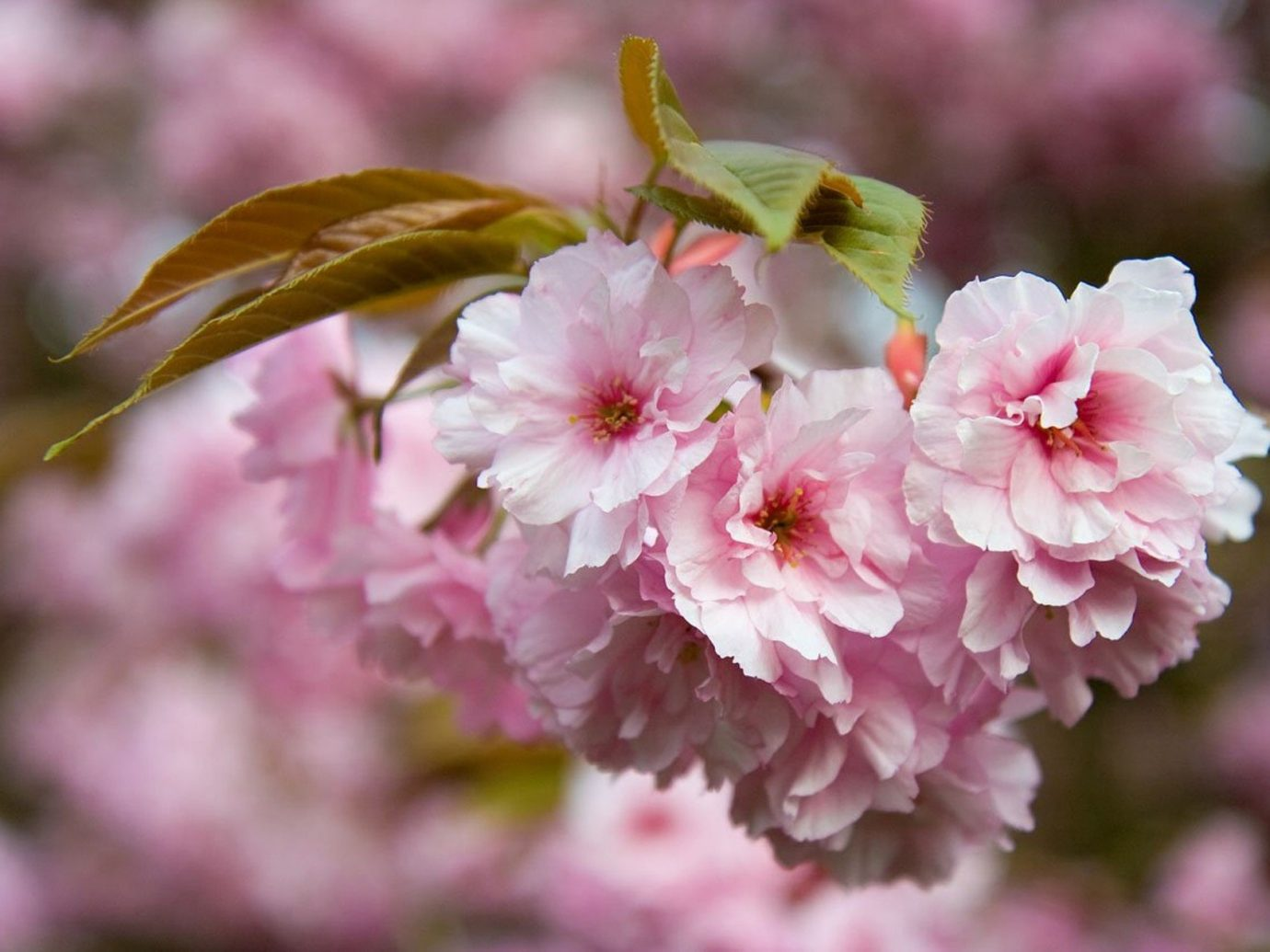 calm detail flowers Garden Nature Offbeat park pink remote serene flower blossom plant flora botany macro photography cherry blossom branch close up land plant produce food petal spring leaf fruit cherry flowering plant rose family shrub close colored