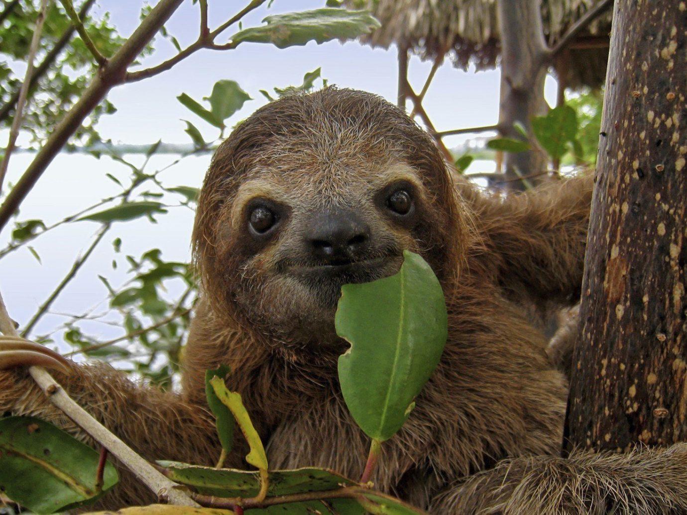 Trip Ideas tree outdoor animal mammal vertebrate Wildlife sloth fauna meerkat three toed sloth zoo trunk