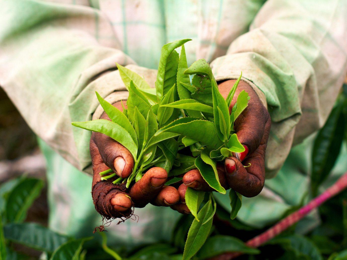 Travel Tips plant green flora produce botany flower food leaf land plant flowering plant fruit Jungle vegetable fresh