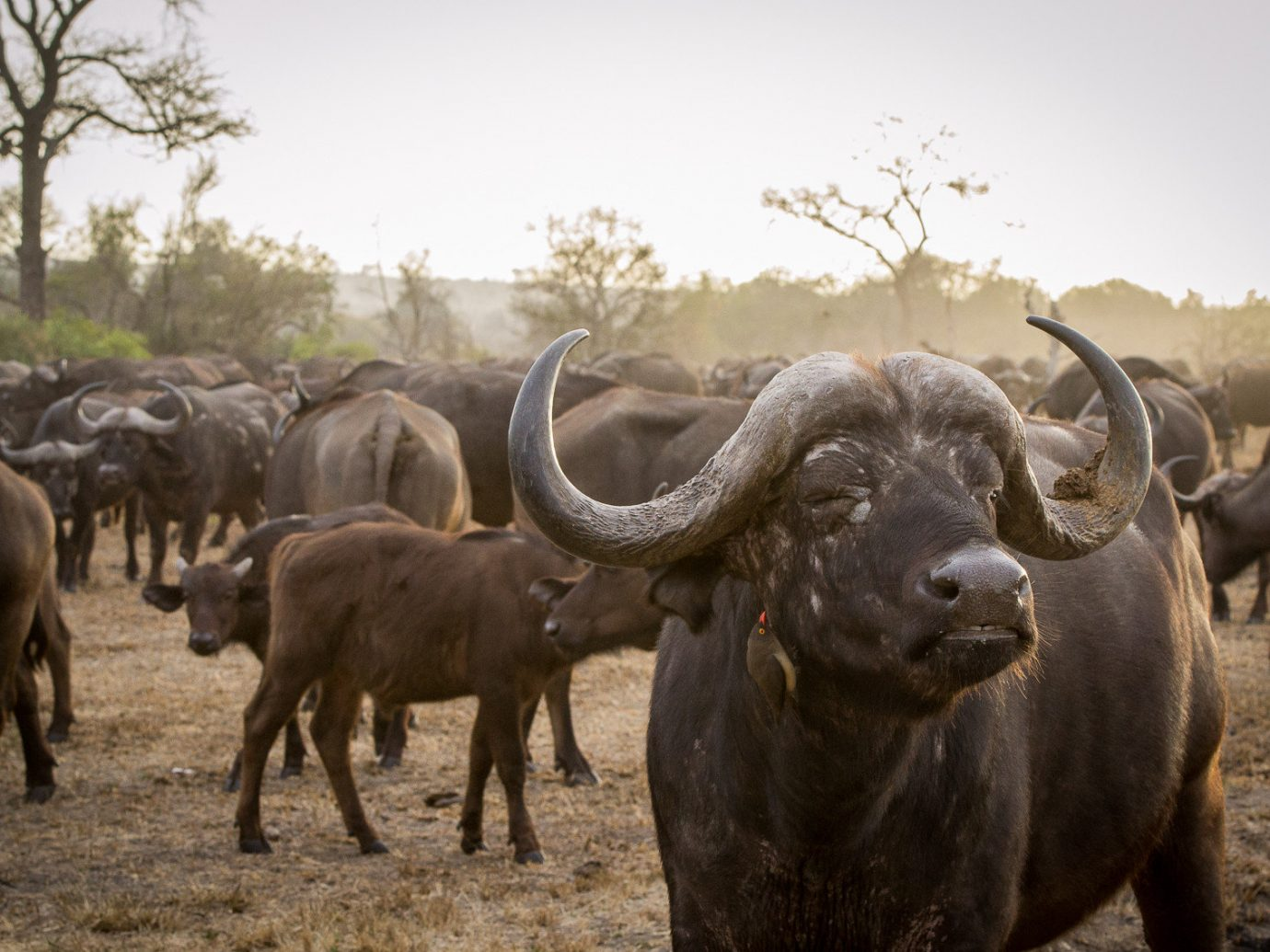 Offbeat Safaris Trip Ideas cow sky outdoor grass herd cattle field bovine mammal animal Wildlife water buffalo group standing fauna cattle like mammal horn Safari pasture Adventure bull dry gathered dirt