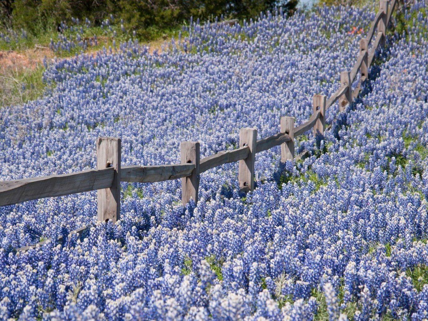 Travel Tips tree flower outdoor Fence lavender bluebonnet plant lupin english lavender flora botany land plant flowering plant field wildflower meadow blossom woodland frost