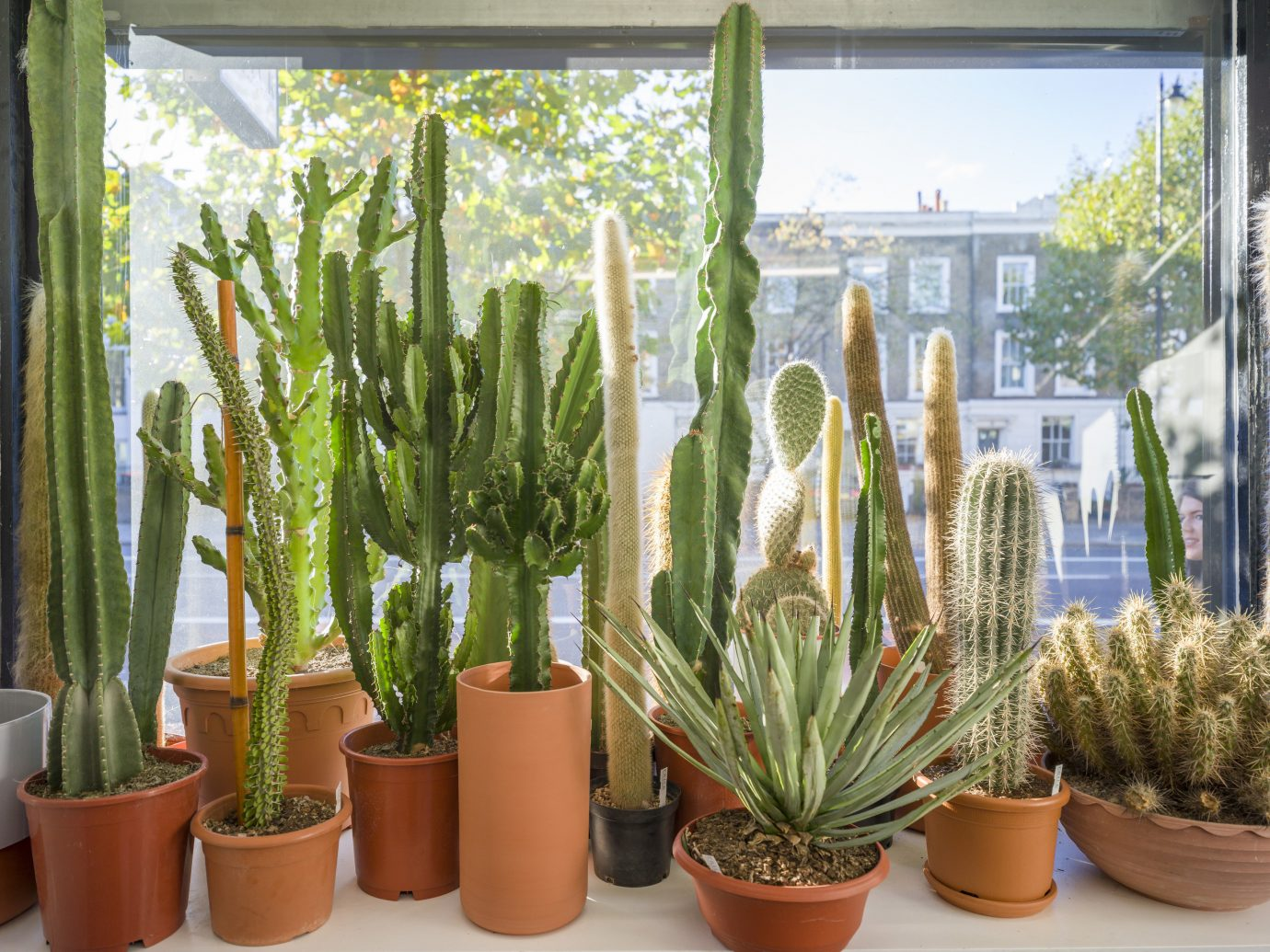 Offbeat Style + Design Travel Trends tree plant window cactus flowerpot hedgehog cactus houseplant flowering plant san pedro cactus caryophyllales agave palm several