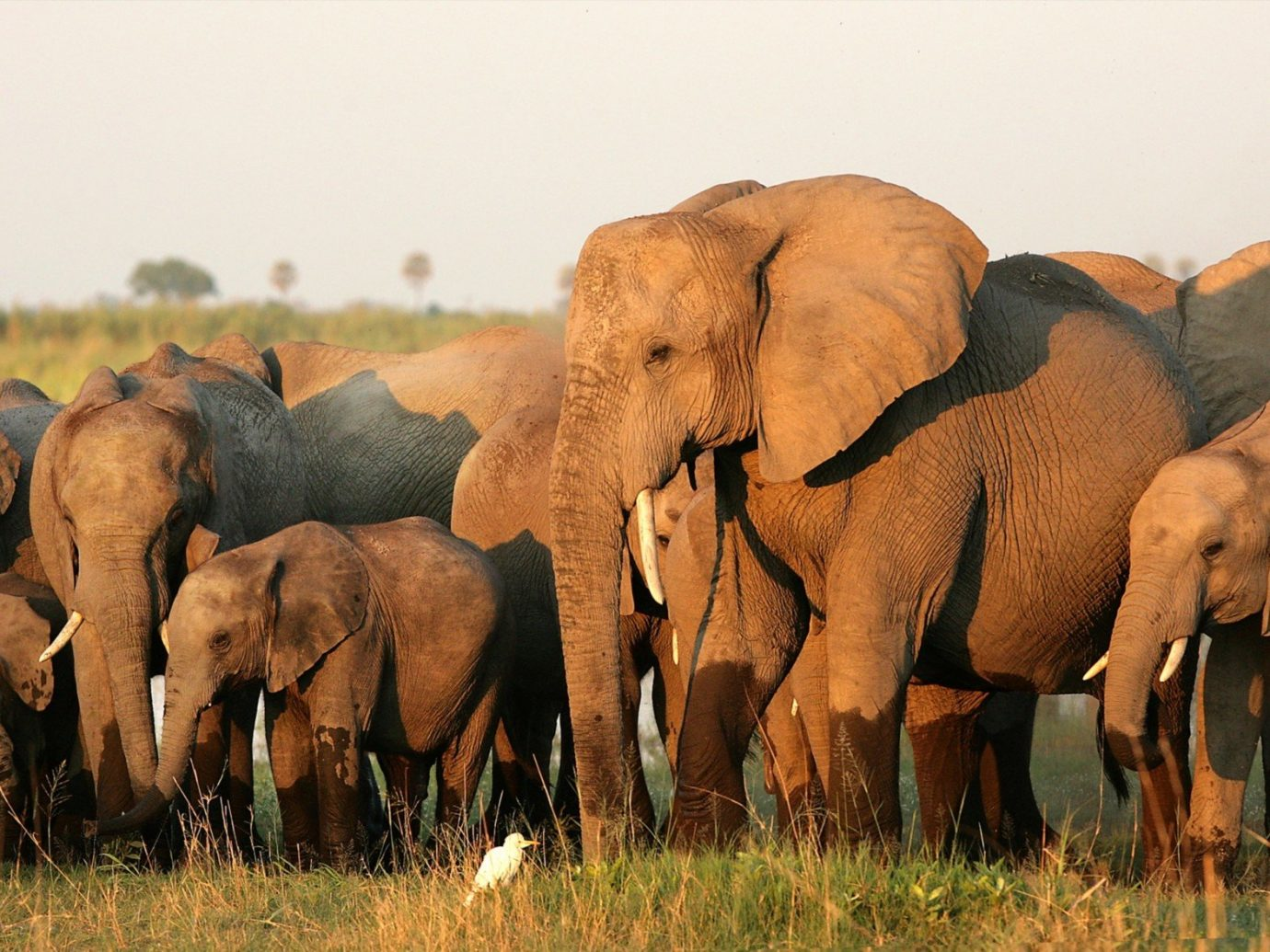 Trip Ideas grass outdoor animal herd field mammal pasture Wildlife elephant fauna grassland ecosystem grazing indian elephant standing group savanna elephants and mammoths mustang horse adult prairie Safari baby african elephant Adventure grassy Family lush