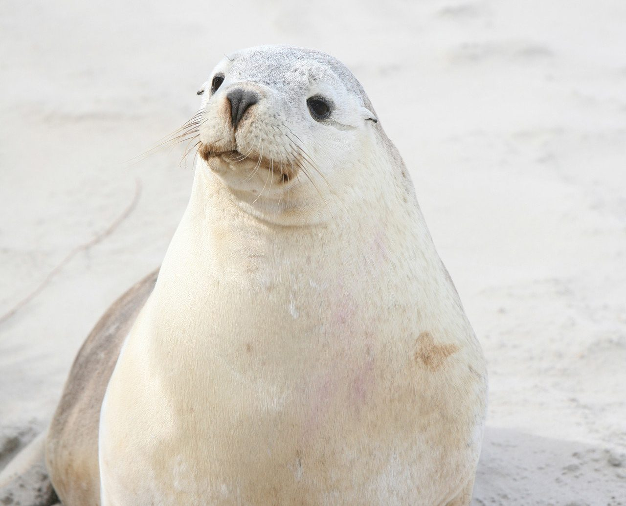 Hotels animal aquatic mammal seal mammal harbor seal ground seals outdoor vertebrate marine mammal fauna Wildlife laying sand sandy