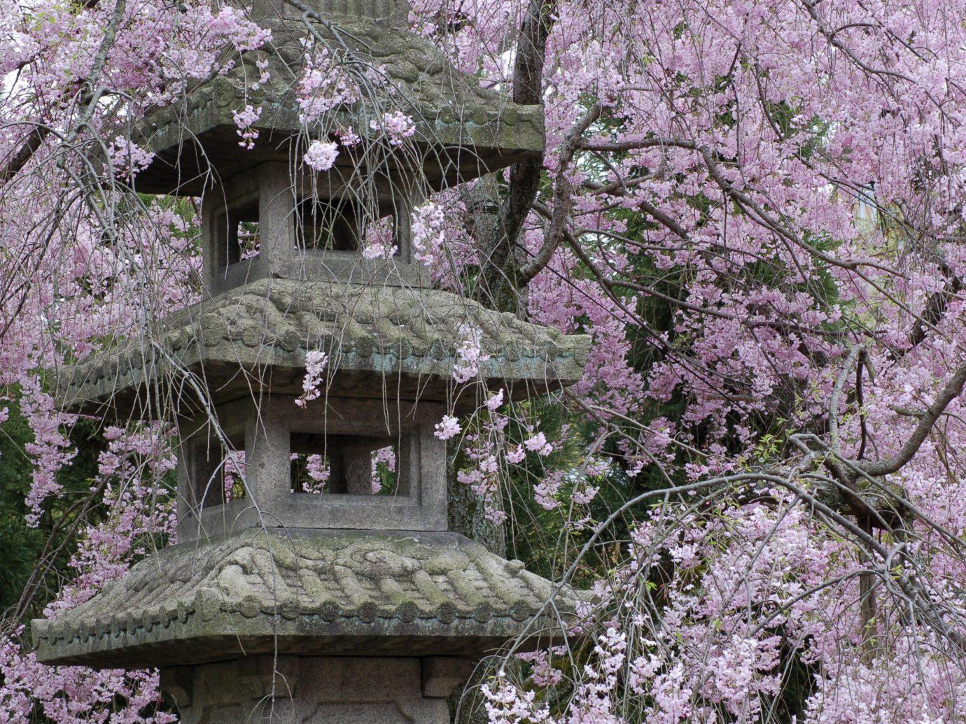Arts + Culture Festivals + Events Offbeat Travel Tips tree outdoor flower plant cherry blossom flora botany blossom spring Garden stone shrine surrounded
