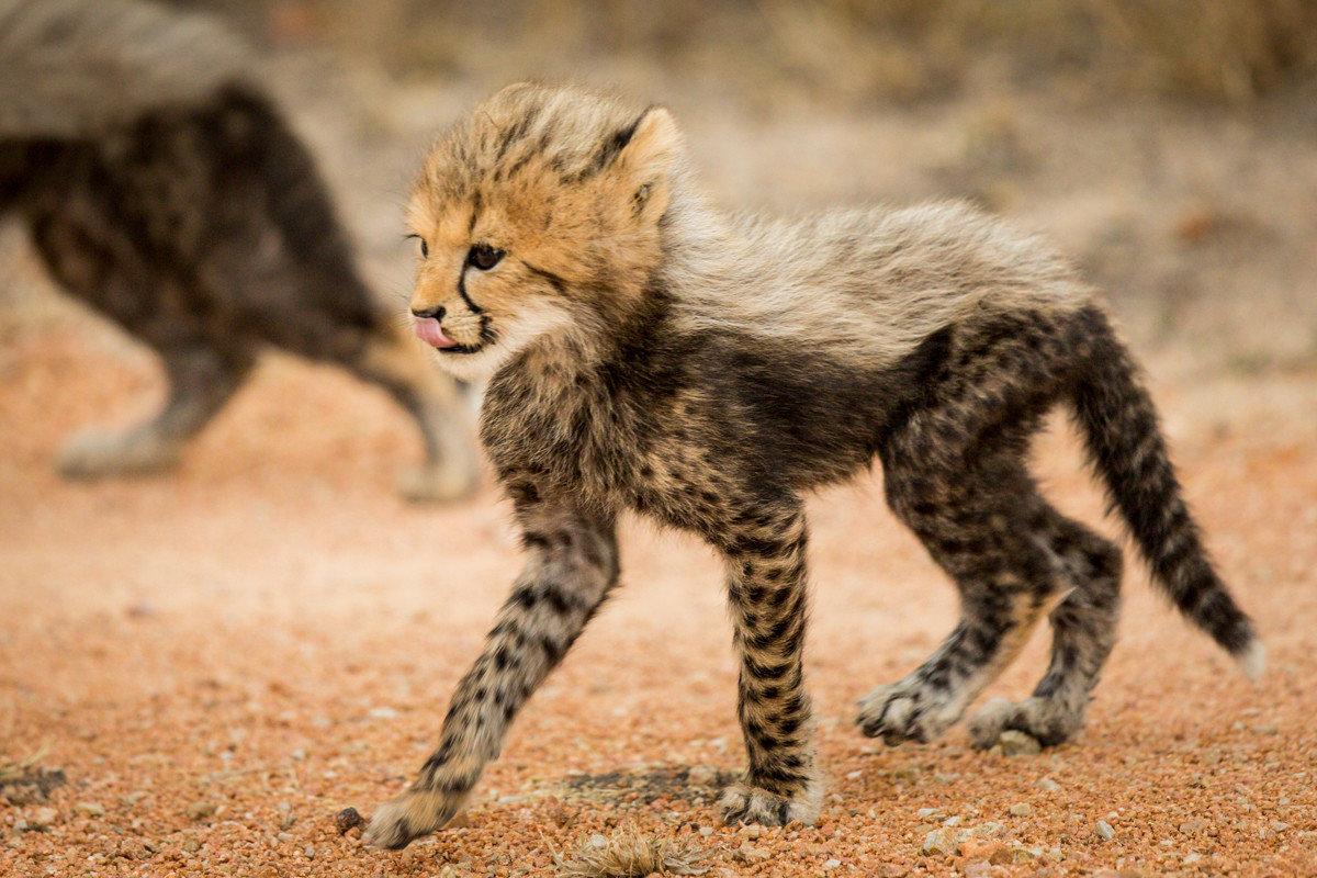 Offbeat Safaris ground animal mammal cat cheetah outdoor vertebrate wild cat fauna Wildlife whiskers small to medium sized cats cat like mammal bobcat lynx kitten carnivoran grey dirt