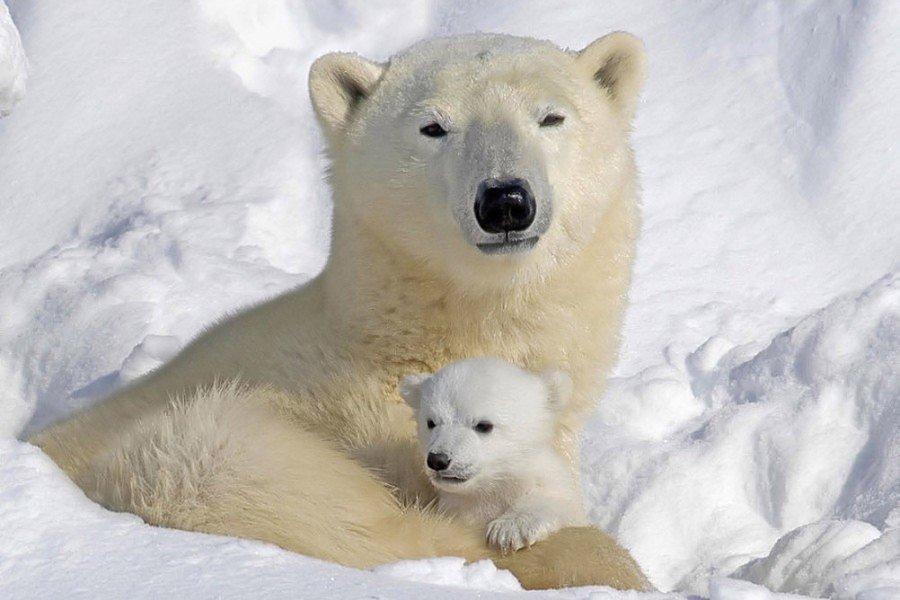 Trip Ideas polar bear snow animal mammal vertebrate white dog breed group arctic polar bear greenland dog