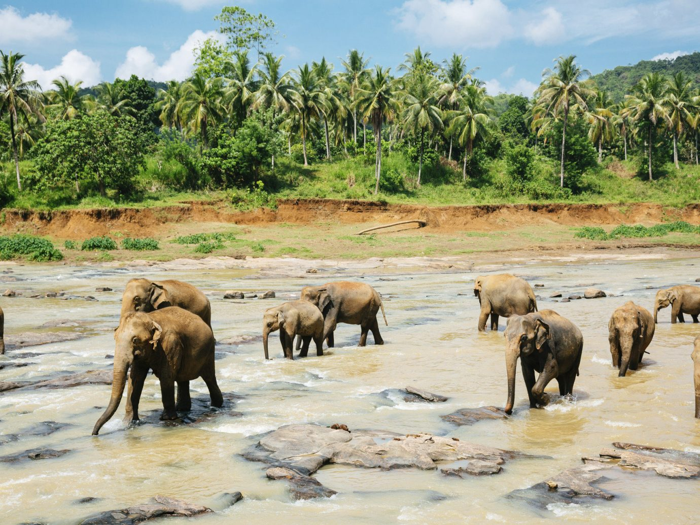 Budget Travel Tips Trip Ideas tree elephant outdoor sky herd indian elephant mammal group River animal Wildlife elephants and mammoths fauna walking savanna Safari Family african elephant Adventure plain gathered