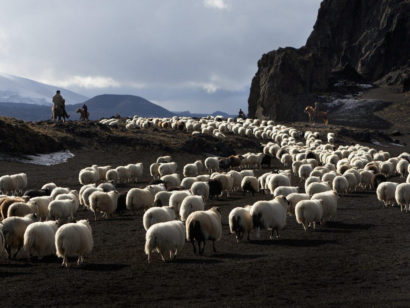 Iceland Travel Tips sheep sky outdoor grass herd mammal mountain sheeps flock Sea hillside