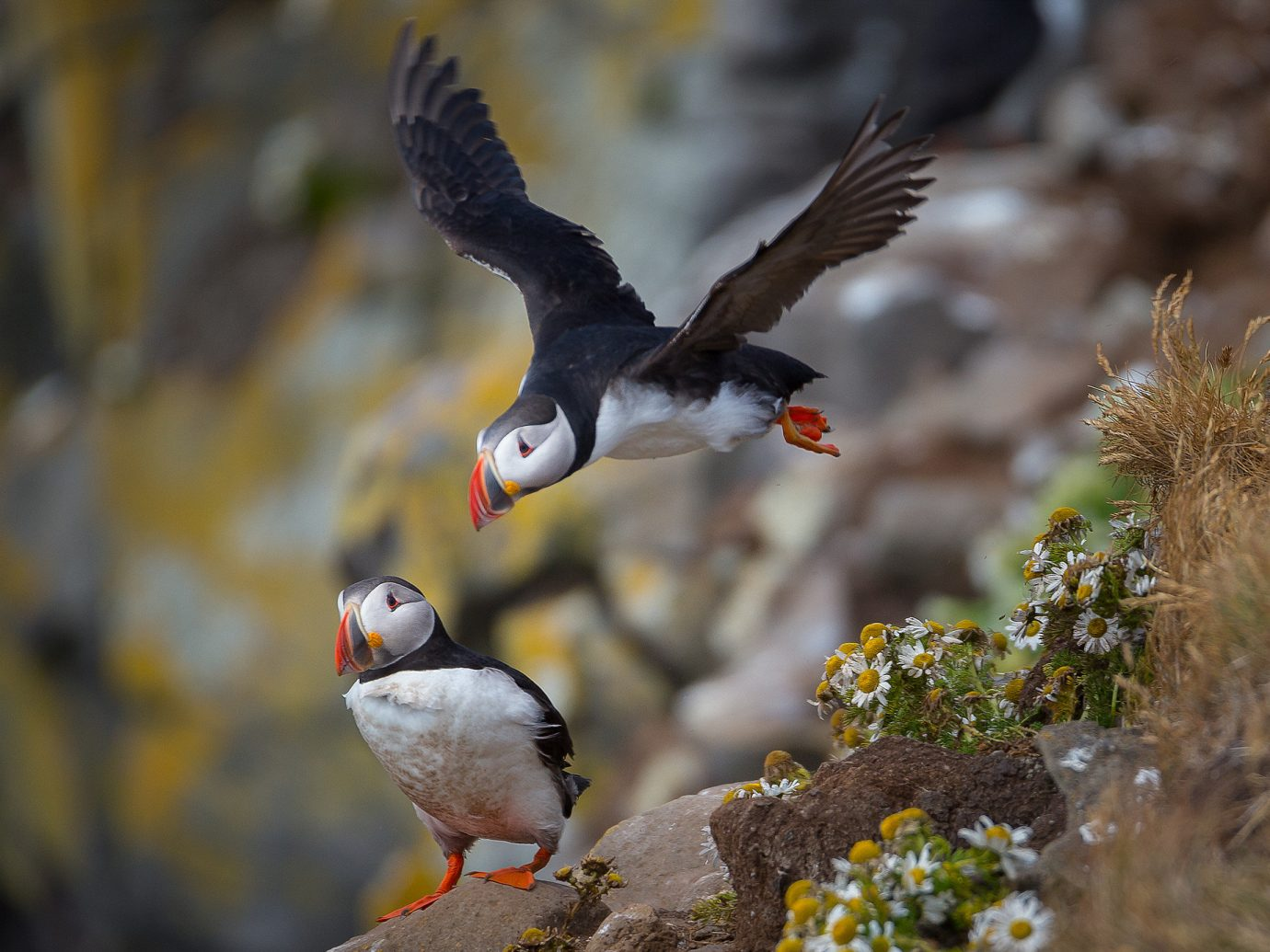 Trip Ideas Bird animal outdoor Nature beak vertebrate puffin Wildlife fauna colorful charadriiformes falcon seabird orange colored