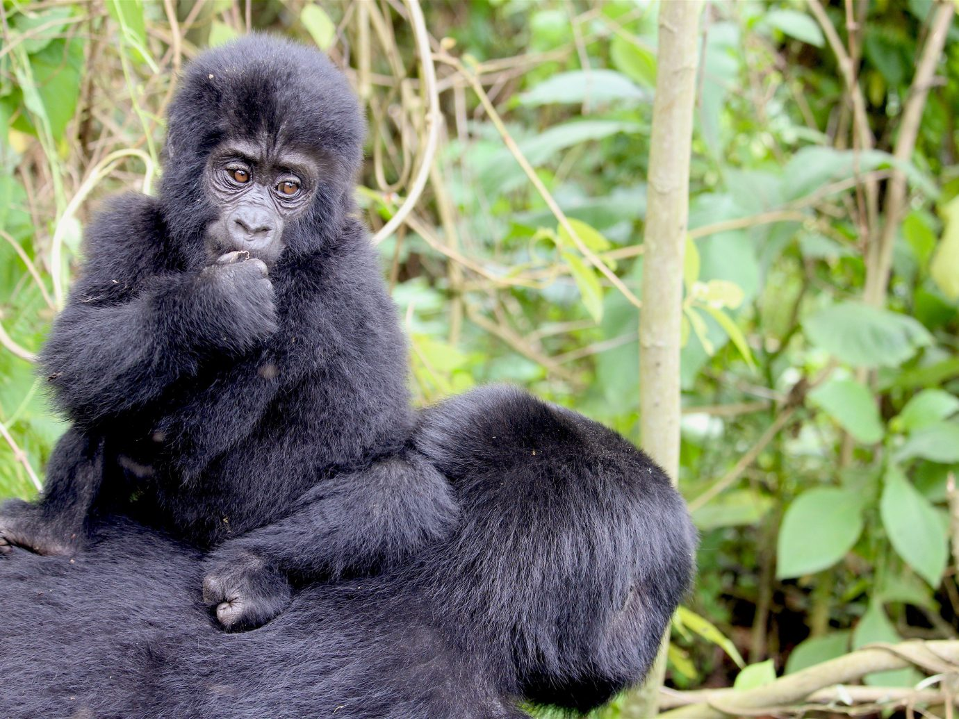africa Belize Bhutan Hotels Iran Laos Madagascar Secret Getaways Slovenia Tanzania Trip Ideas Uganda animal mammal primate great ape ape outdoor western gorilla black fauna Wildlife leaf rainforest terrestrial animal Jungle grass organism Forest chimpanzee snout