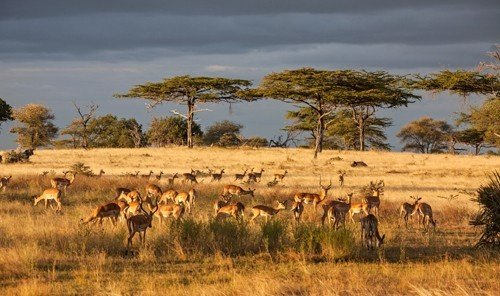 Trip Ideas grass outdoor sky field herd savanna mammal animal Wildlife grassland wilderness plain fauna ecosystem prairie Safari impala steppe Adventure grassy grazing wildebeest cattle cheetah antelope pasture