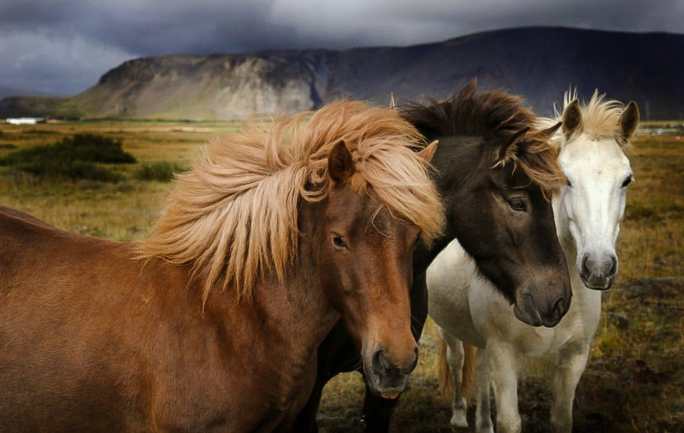 Iceland Travel Tips horse mammal animal standing brown vertebrate mare stallion mane pasture mustang horse fauna horse like mammal herd pack animal