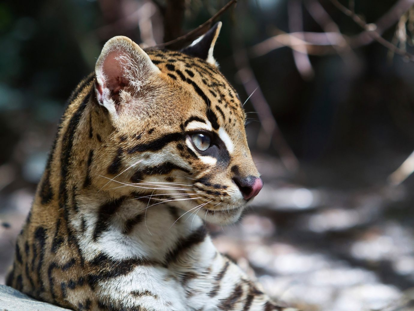 Trip Ideas animal mammal outdoor ocelot vertebrate wildcat whiskers cat fauna Wildlife wild cat cat like mammal close up small to medium sized cats bengal rusty spotted cat savannah