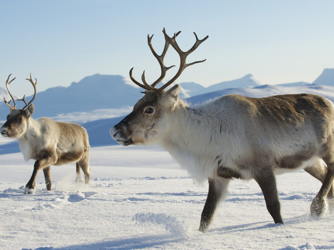Adventure Boutique Hotels Romance Trip Ideas sky animal outdoor mammal deer reindeer Wildlife snow tundra freezing elk arctic Winter cattle like mammal antler cattle day