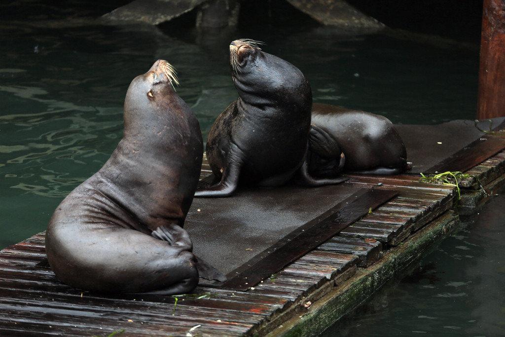 Beach animal mammal seal aquatic mammal vertebrate seals fauna Wildlife zoo marine mammal