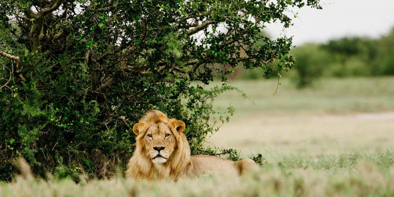 Outdoor Activities Trip Ideas Wildlife grassland mammal ecosystem grass Lion fauna tree savanna Safari masai lion big cats landscape shrubland sky terrestrial animal plant community branch