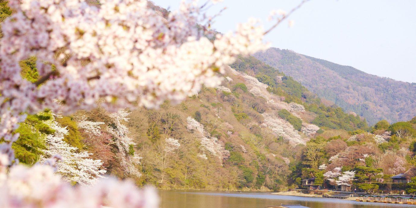Beauty Health + Wellness Japan Kyoto San Francisco Travel Tips flower plant blossom cherry blossom spring flora tree sky