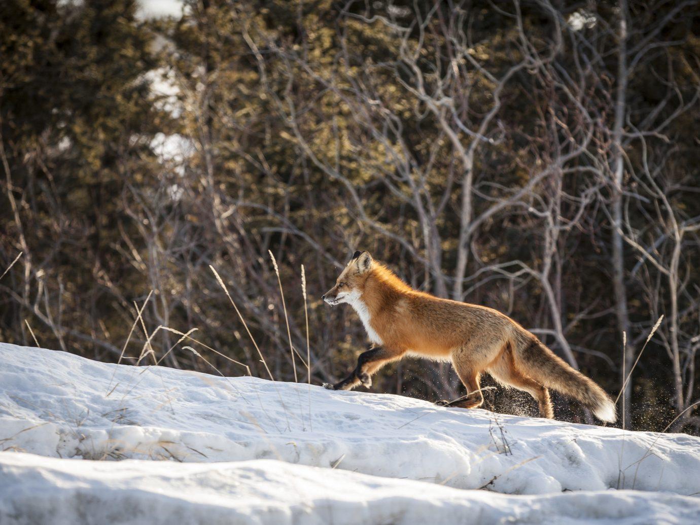 Travel Tips snow tree mammal animal outdoor fox vertebrate Wildlife red fox fauna Winter dog like mammal wood Forest hillside