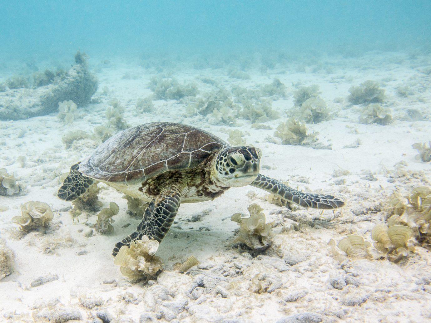 Beaches caribbean Trip Ideas reptile turtle sea turtle animal outdoor vertebrate marine biology loggerhead fauna biology underwater Wildlife Sea coral reef ocean floor