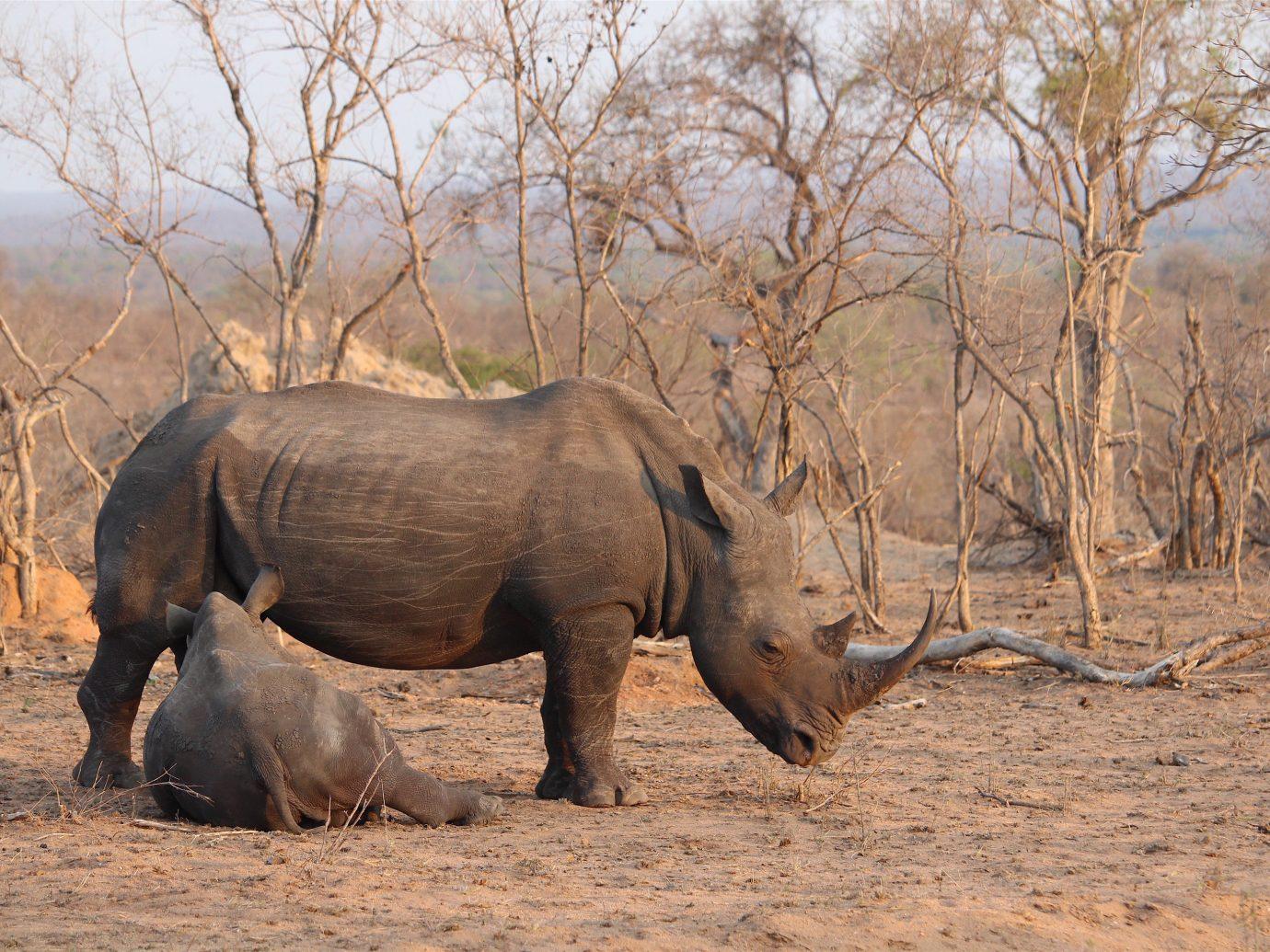 Outdoors + Adventure Safaris Trip Ideas tree animal outdoor mammal ground rhinoceros Wildlife fauna indian elephant savanna Safari baby Adventure dry dirt Forest