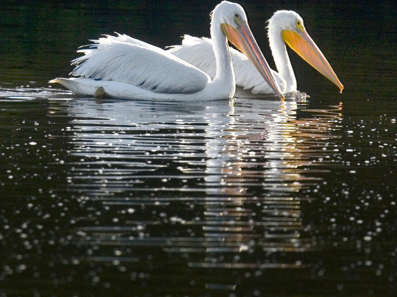 Hotels Secret Getaways Trip Ideas water outdoor Bird pelican animal vertebrate beak aquatic bird fauna seabird reflection Lake pelecaniformes wing pond