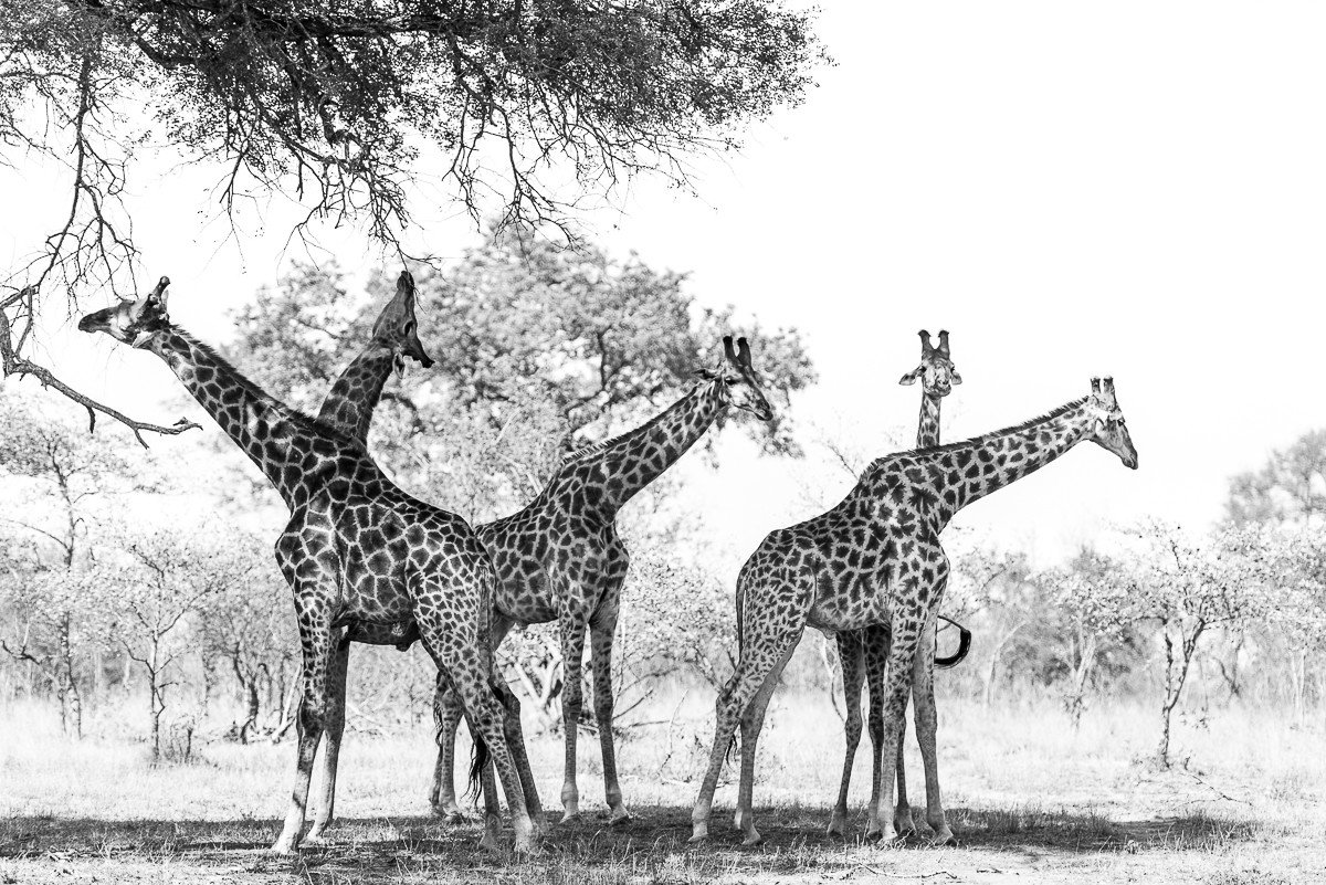 Trip Ideas giraffe outdoor tree sky grass field animal mammal giraffidae vertebrate black and white standing fauna savanna monochrome photography monochrome horse