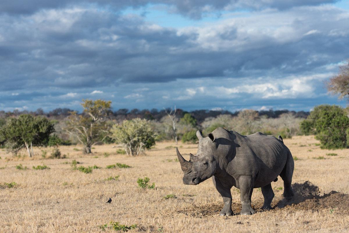 Offbeat Safaris outdoor animal sky grass mammal rhinoceros field savanna Wildlife fauna ecosystem grassland plain Safari indian elephant elephant Adventure elephants and mammoths prairie herd grazing dirt day