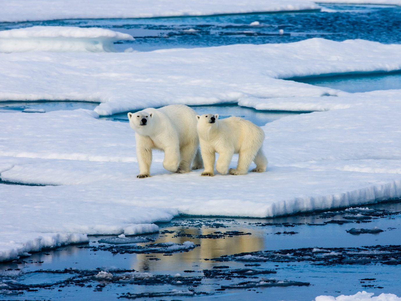 Adventure Trip Ideas water polar outdoor polar bear arctic ocean animal arctic bear mammal polar ice cap ice ice cap melting tundra Wildlife carnivoran sea ice Ocean freezing glacial landform swimming