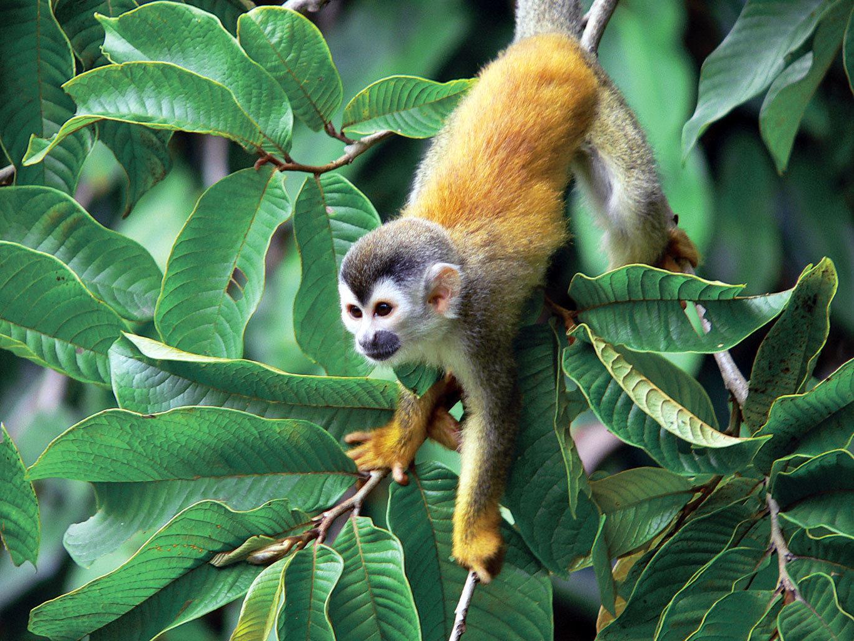 Natural wonders Nature Outdoors Scenic views Wildlife animal mammal tree vertebrate green monkey new world monkey white headed capuchin primate fauna squirrel monkey rainforest Jungle capuchin monkey plant branch