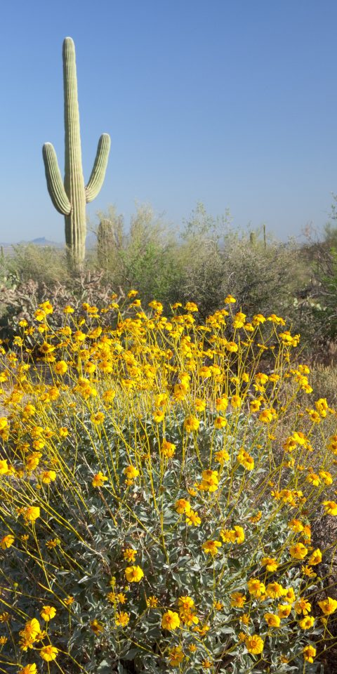 Trip Ideas yellow plant outdoor flower Nature flora vegetation ecosystem field botany land plant flowering plant wildflower prairie meadow sunflower daisy family brittlebush