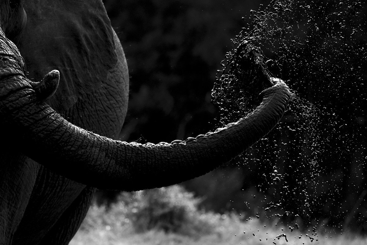Trip Ideas outdoor elephant tree black black and white white photograph animal monochrome photography photography bovine monochrome standing darkness close up light mammal trunk emotion closeup close day
